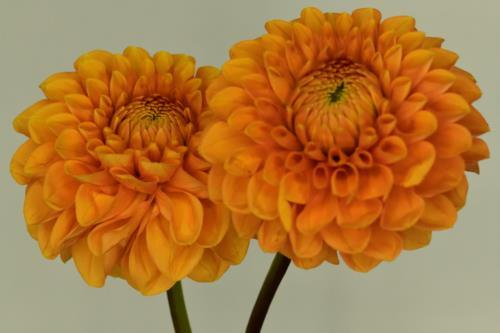 Orangish yellow flower pair