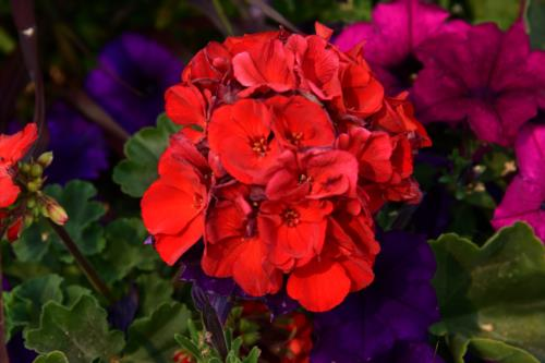 Reddish rose colored flowers