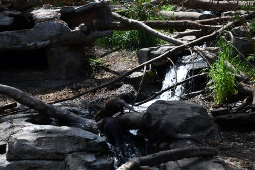Otters in Zoo