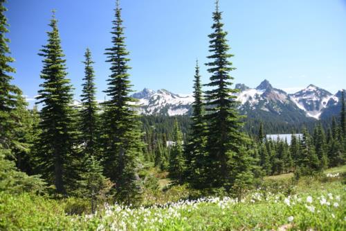Trees near Mount Rainier