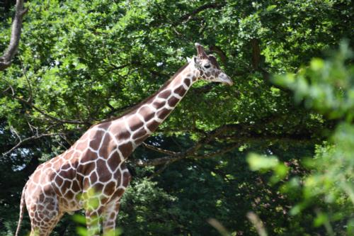 Giraffe, Zebra and Kangaroo
