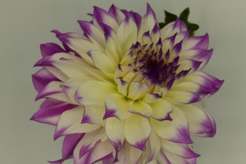 Creamy pink flower
