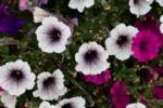 Pretty white flowers with purple tinge at the center